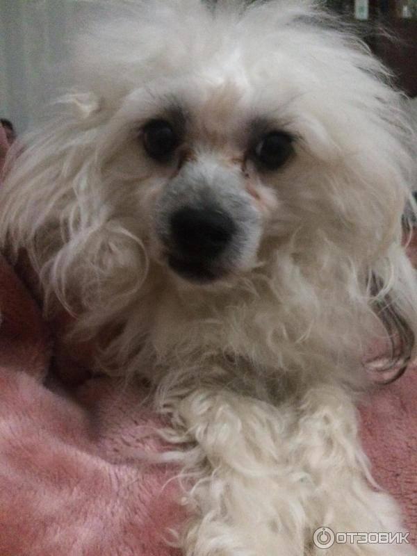 Китайская хохлатая собака: голая, пуховка, особенности ухода
