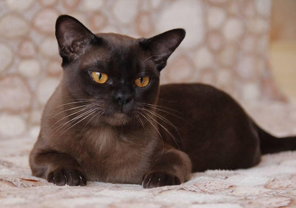 Сколько живут, происхождение, уход, характеристики и характер, описание - породы бурманской кошки