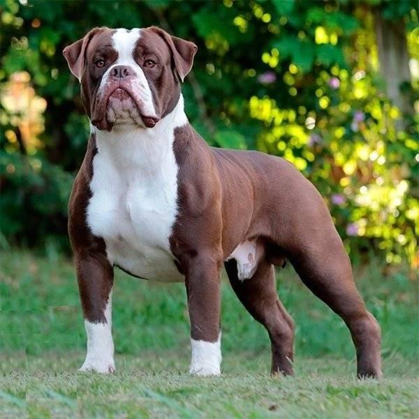 Бразильский бульдог собака. описание, особенности, виды, уход и цена породы | животный мир