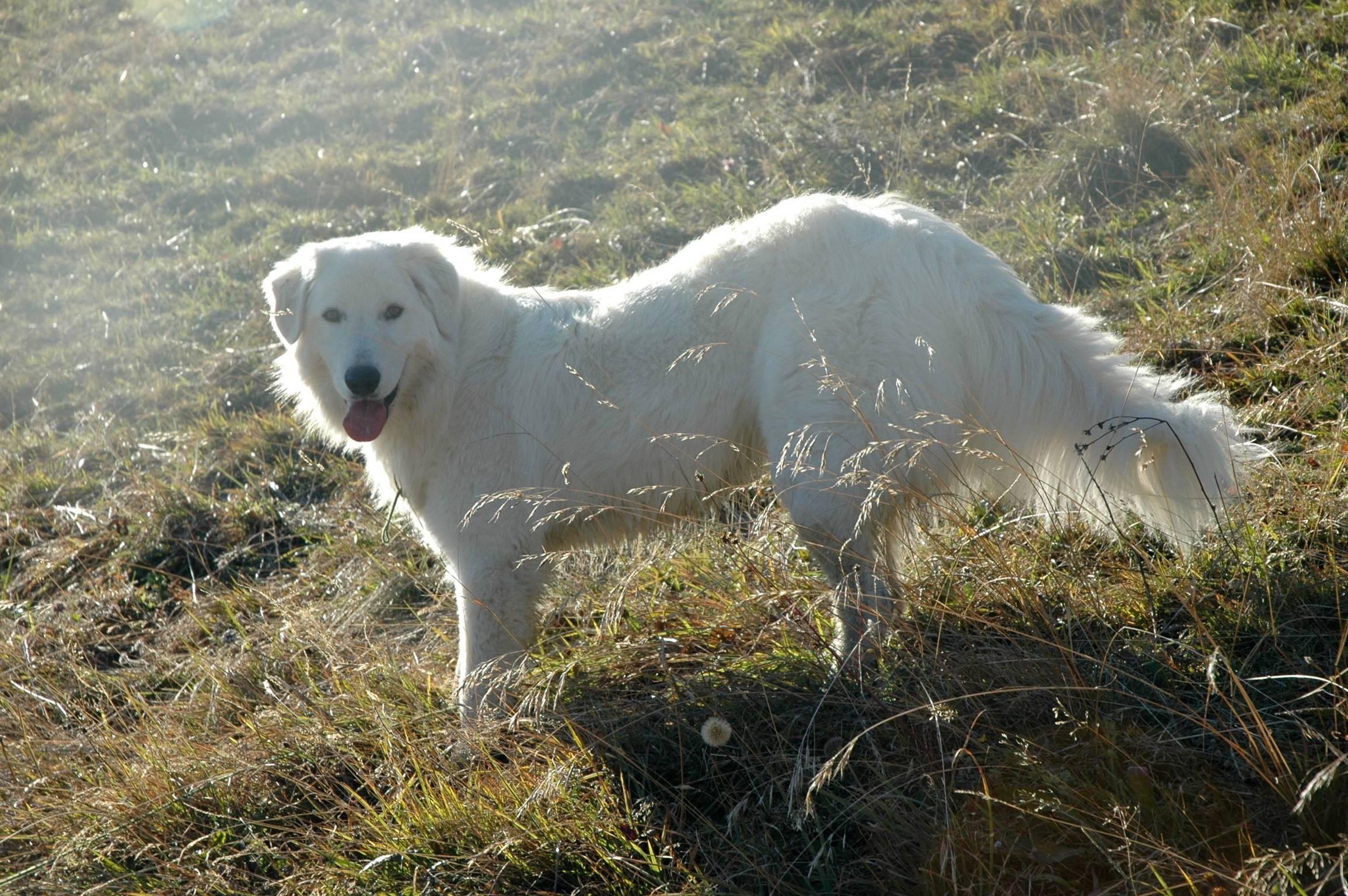 Маремма-абруццкая овчарка: описание итальянской породы с фото