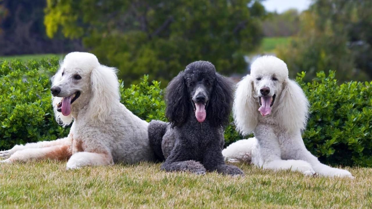 Описание пород кудрявых собак и их содержание