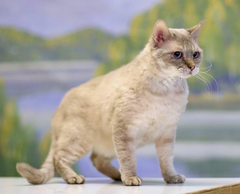 Кошка породы герман-рекс: стандарт и характеристика, правила содержания и ухода, где купить котенка