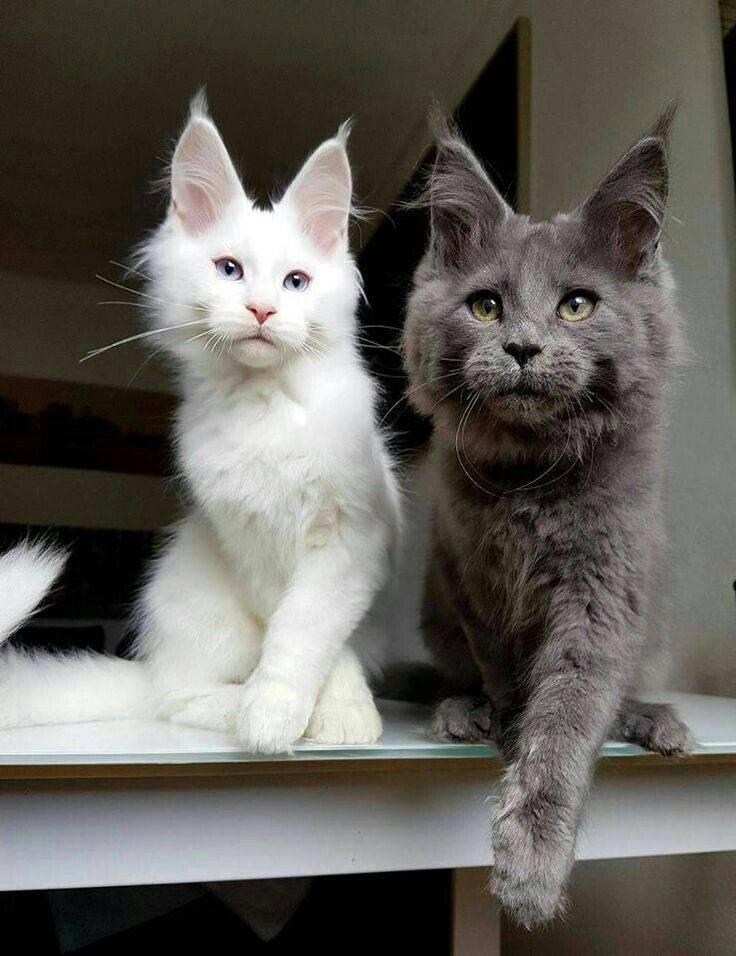 Топ – 10 самых популярных пород кошек в россии