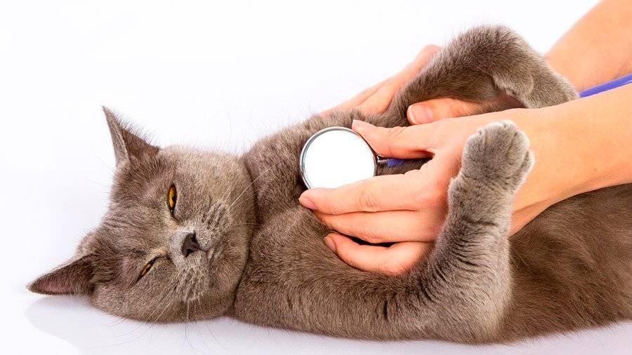 Астма у кошек