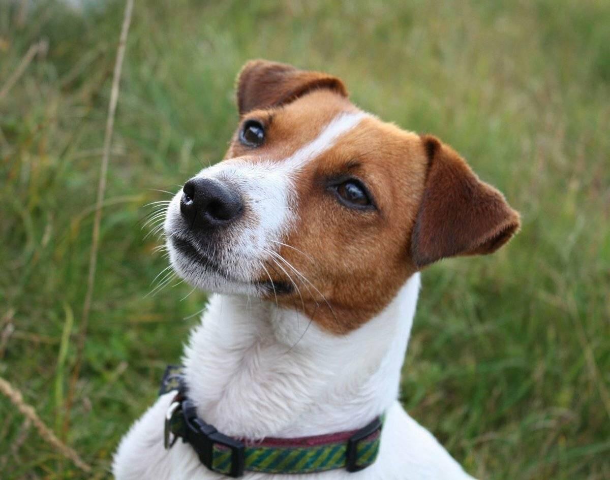 Стандарт породы «джек-рассел-терьер»: как выглядит собака и по каким критериям следует выбирать щенка