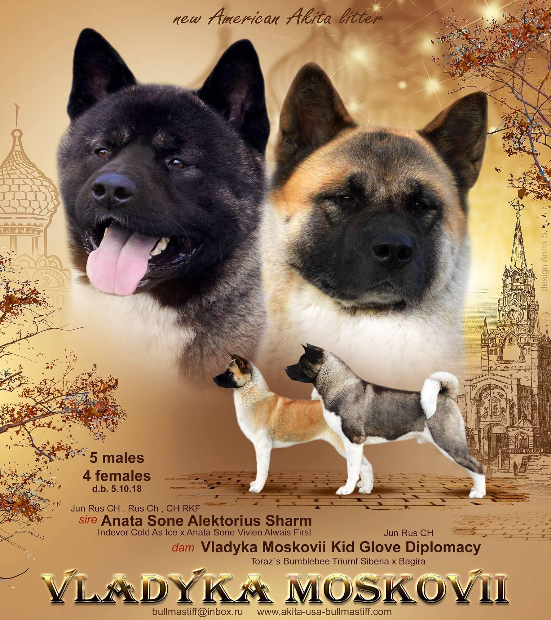 Полное описание породы собак американская акита: внешний вид, характер