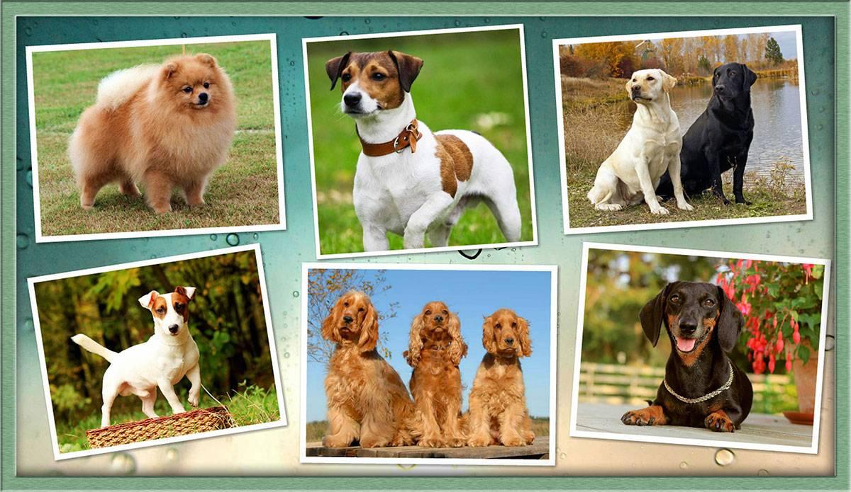 Собаки для квартиры — обзор рекомендуемых пород и их описание