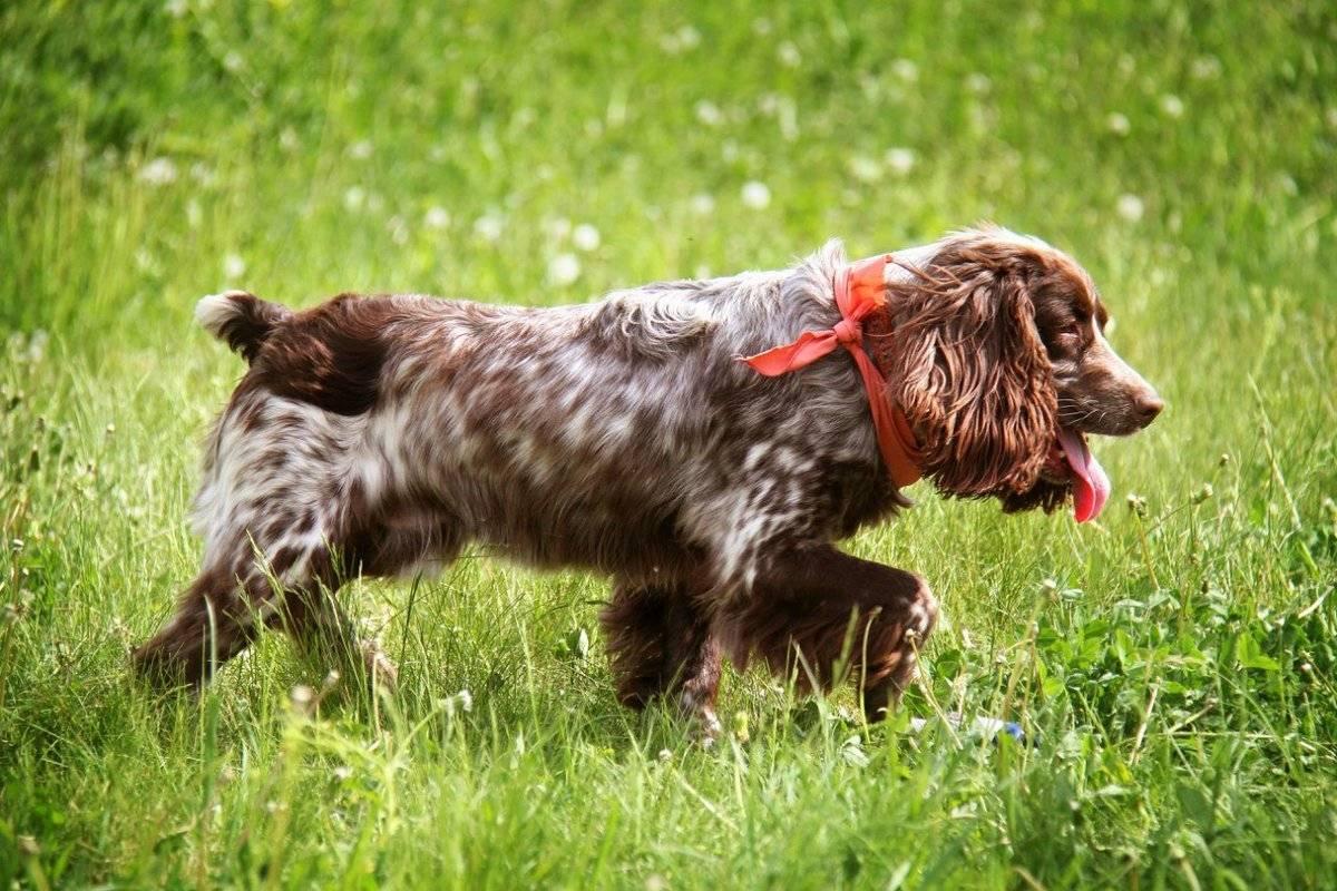 Русский спаниель – уход за собакой, особенности содержания, кормление и гигиена