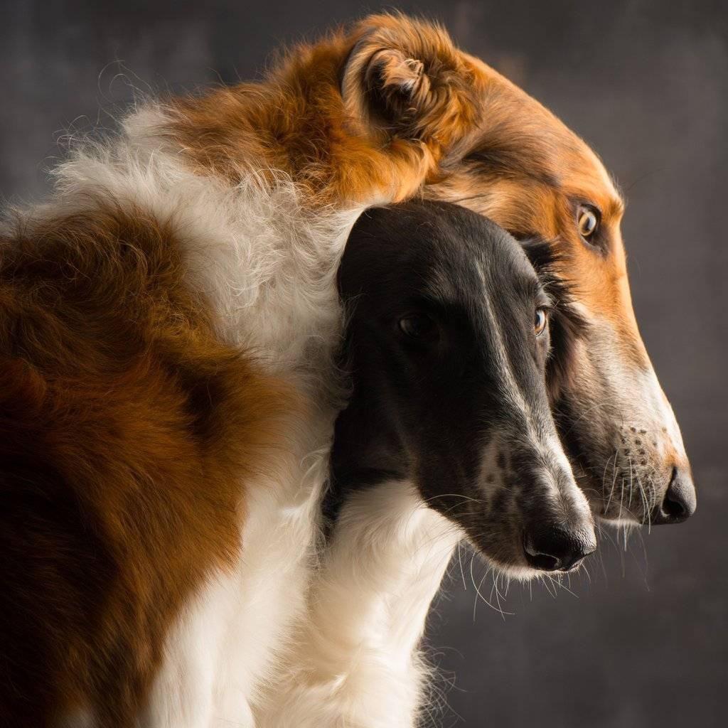Описание породы собак русская борзая: характер, уход, предназначение
