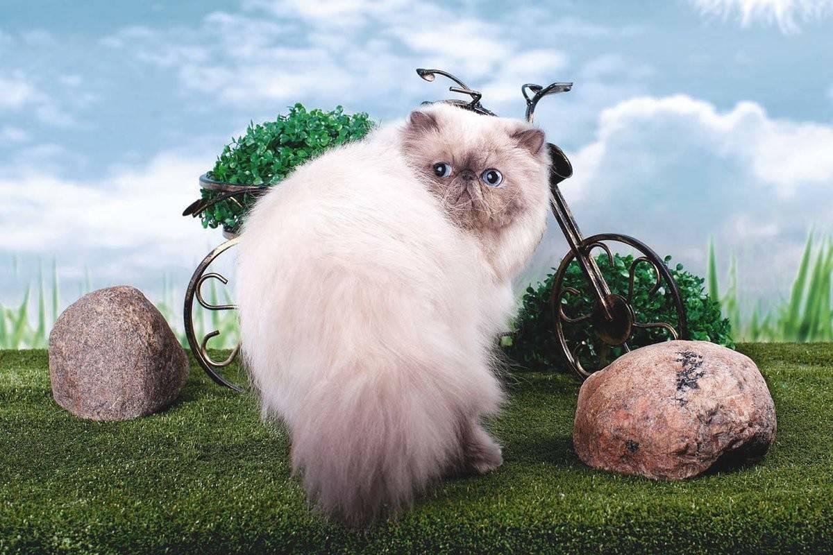 Гималайские кошки (42 фото): описание сиамско-персидской породы котов, особенности характера и окраса