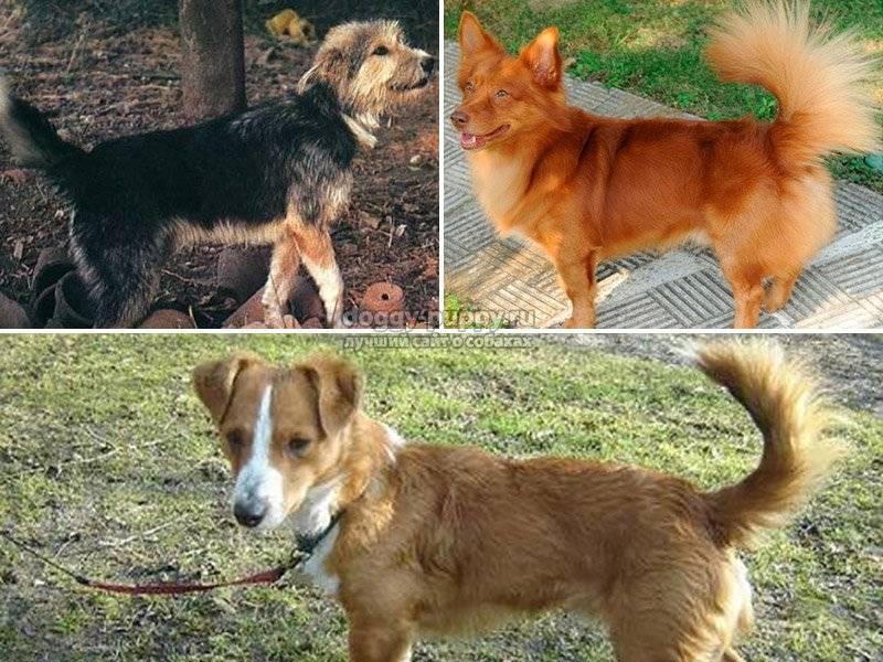 Мальтипу порода собак с фото, описанием, характеристика, цена, видео