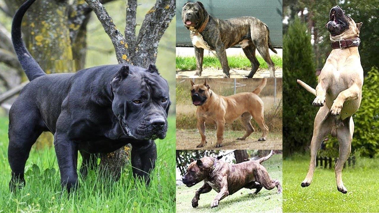 Описание породы собак канарский дог с отзывами владельцев и фото