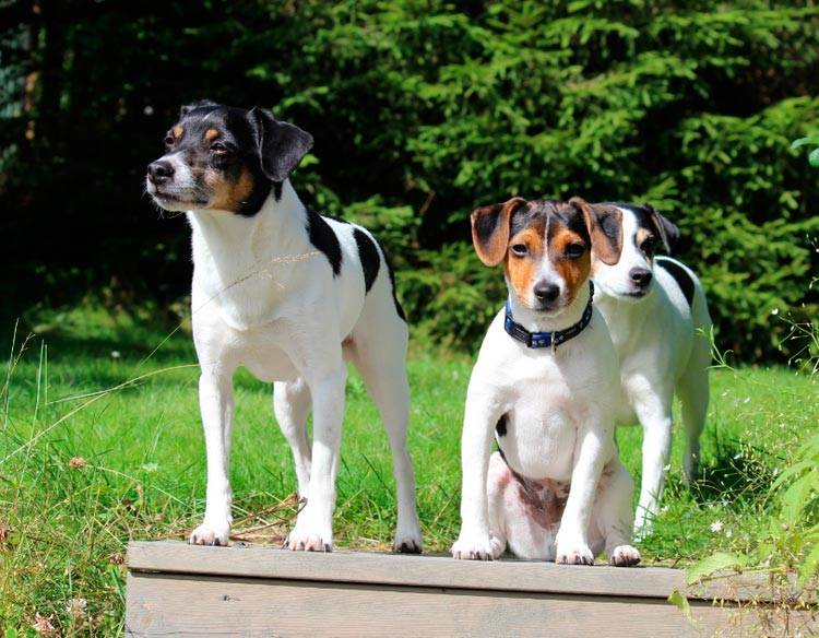 Wikizero - датско-шведская фермерская собака