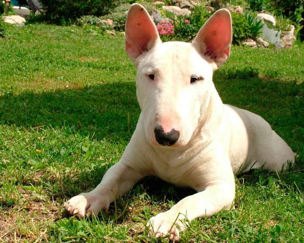 Породы собак с крысиной мордой: названия, характер, фото