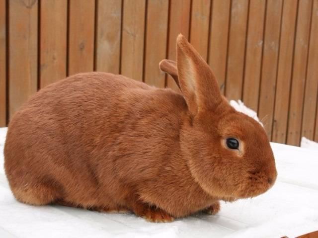 Характеристики и содержание белых и красных новозеландских кроликов