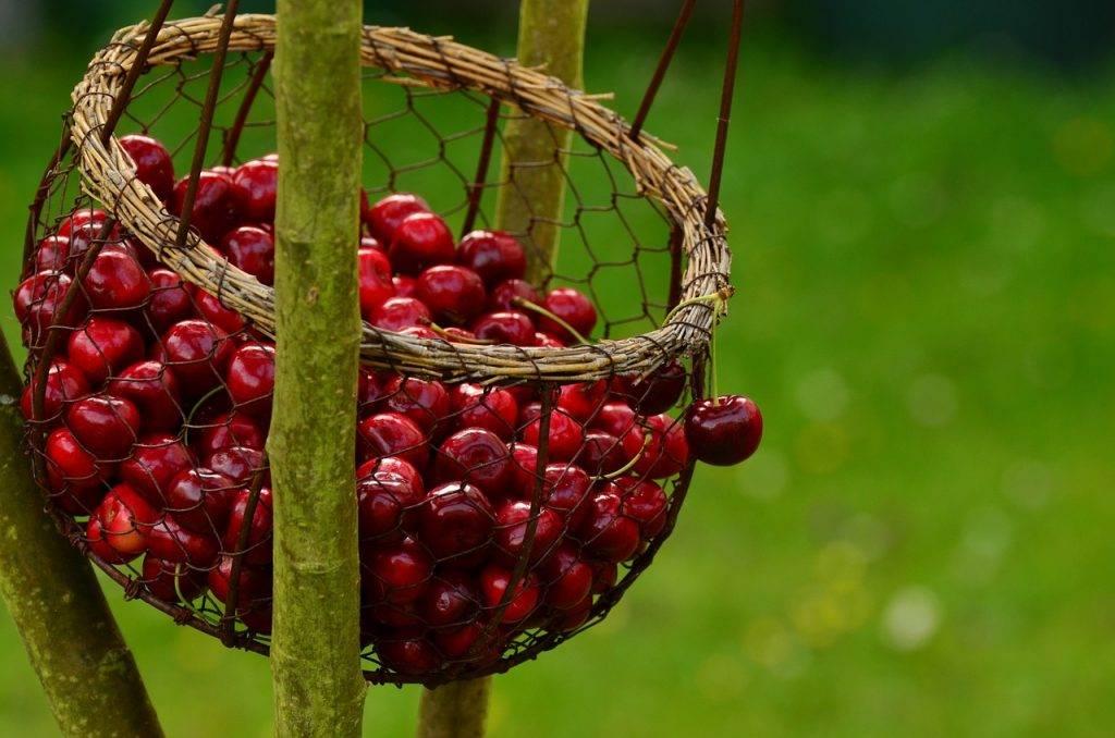 Существуют ли колонновидные вишни, черешни, абрикосы? / асиенда.ру