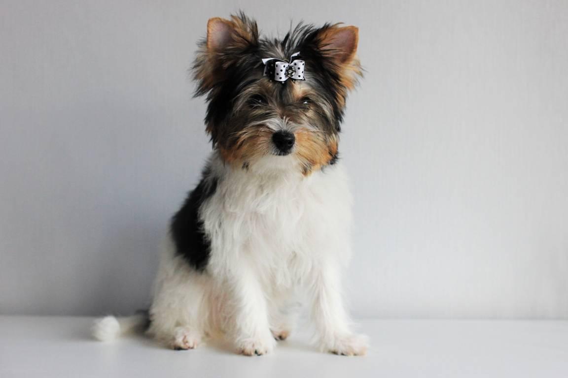 Бивер йоркширский терьер: описание и как выглядит питомец на фото, а также чем отличается мини собака от стандарта породы