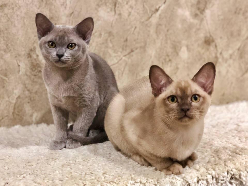 Бурмилла: изысканная леди в мире кошачьих