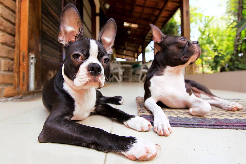 Бостон терьер (бостонский терьер) собака:фото, характер, цена