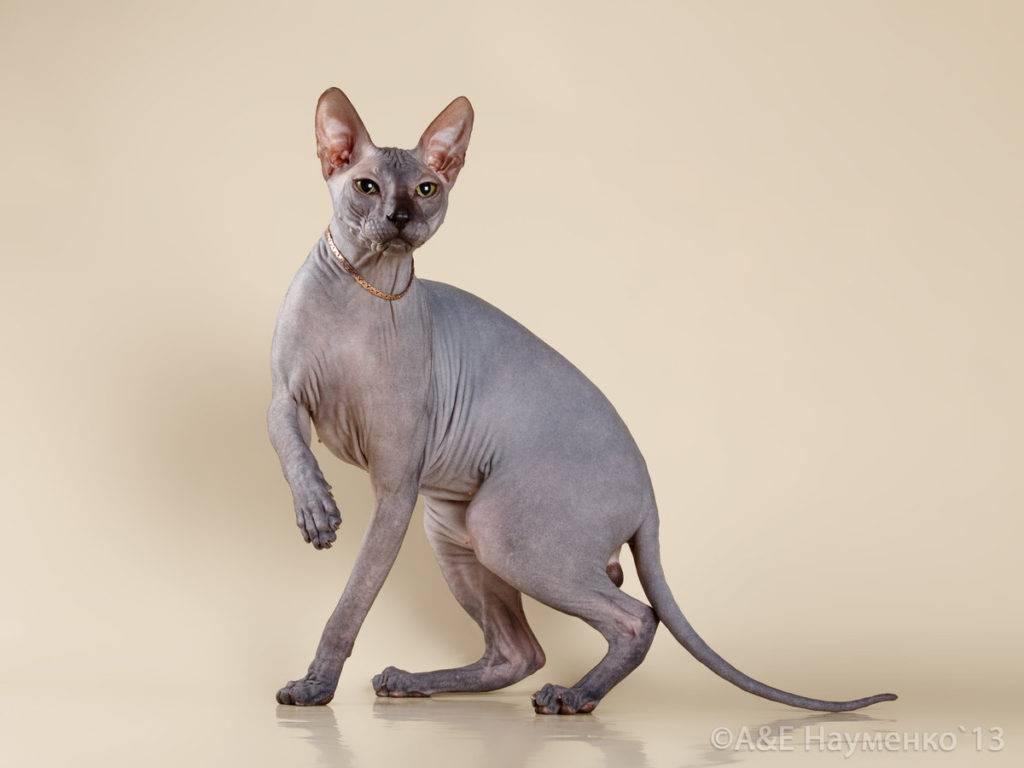 Донской сфинкс кошка. описание, особенности, цена и уход за породой | животный мир