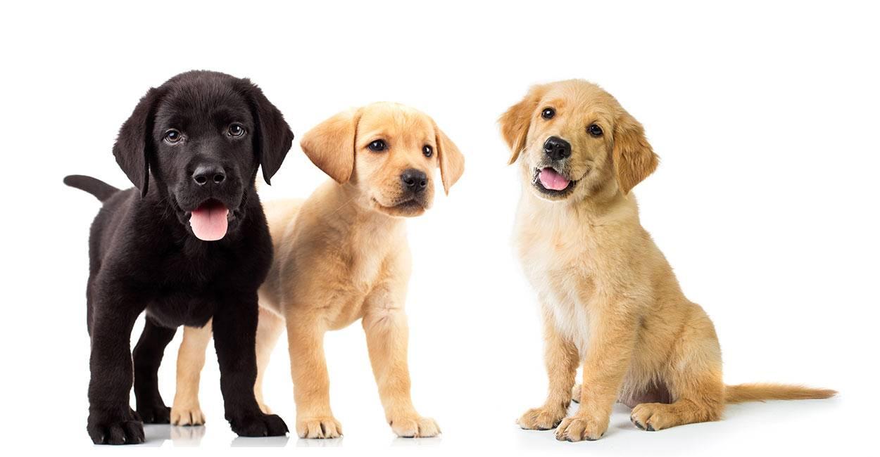 Лабрадор ретривер: описание породы и характер, особенности содержания и ухода, достоинства и недостатки собаки