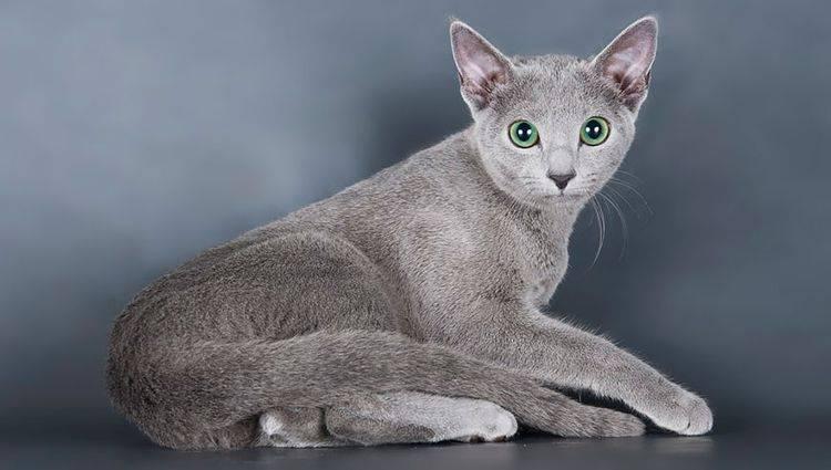 Питомники шотландских кошек в москве и санкт-петербурге | адреса