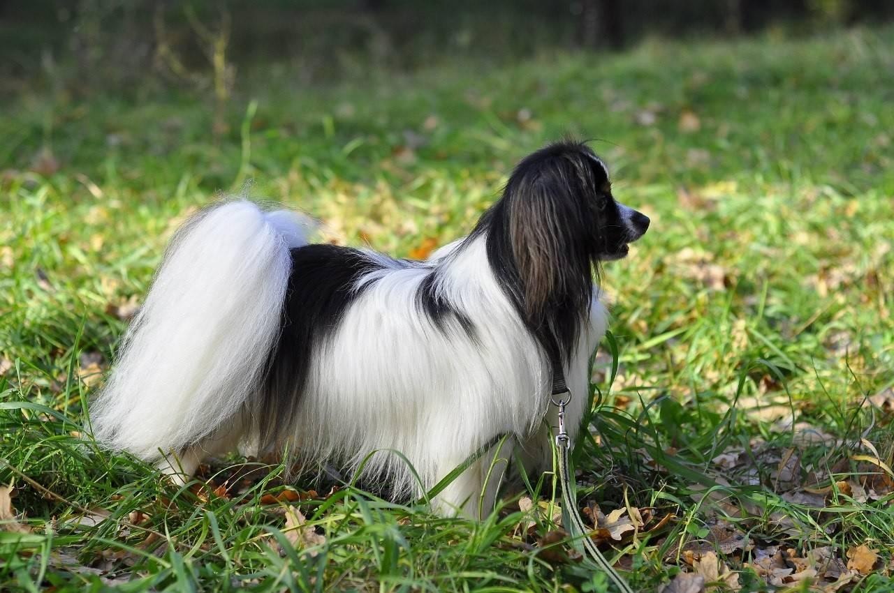 Континентальный той-спаниель: как выглядит на фото папийон и фален с волнистой шерстью, а также описание породы собак