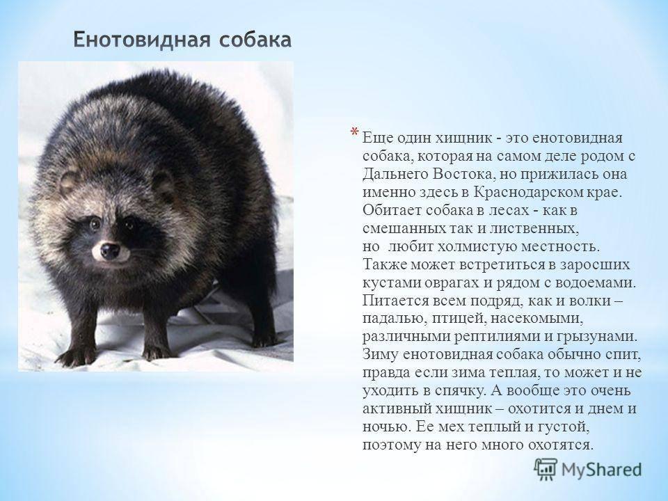 Енотовидная собака – фото, описание, ареал, питание, размножение, враги