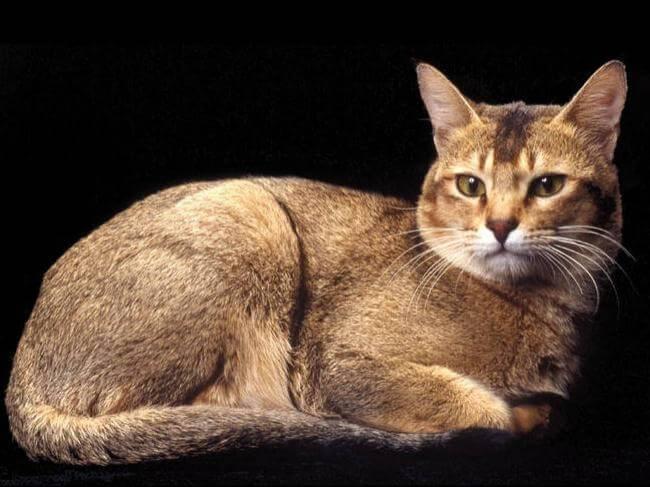 Цейлонская кошка: описание породы, история, рекомендации по уходу