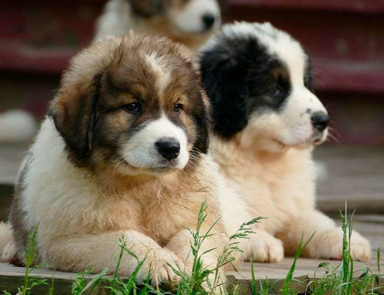 Пти брабансон собака. описание, особенности, уход и цена породы   sobakagav.ru