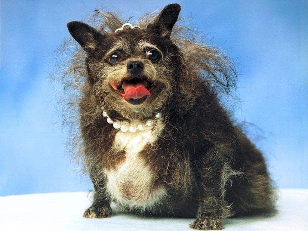 Маленькая страшная собака. самые опасные собаки в мире. самая страшная и уродливая собака в мире