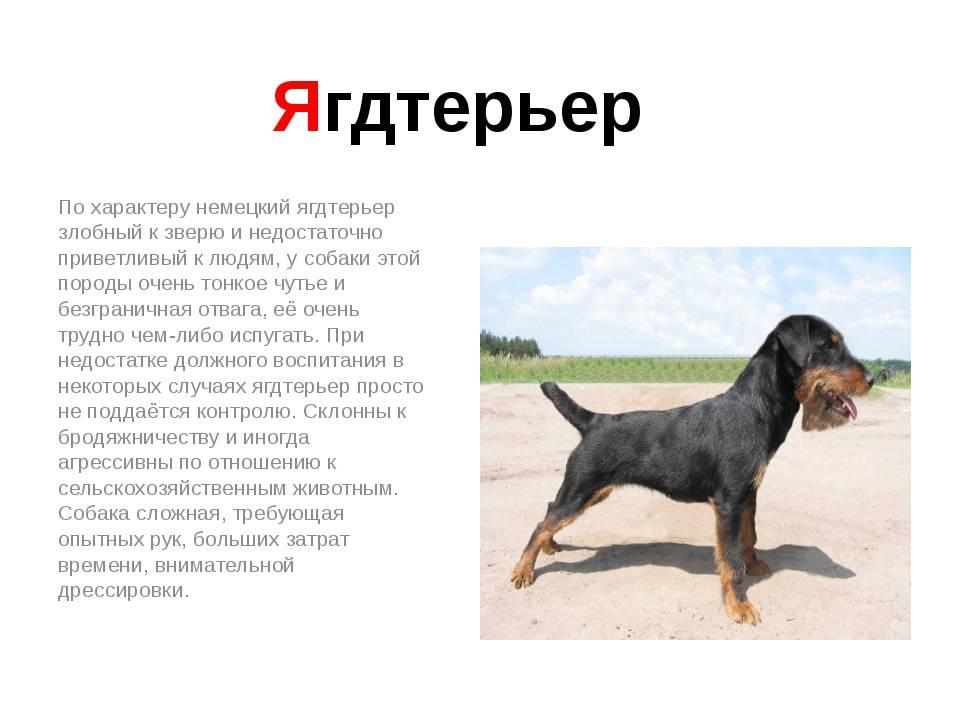 Немецкий ягдтерьер - описание и характеристики породы, выращивание щенков, питание и уход в домашних условиях
