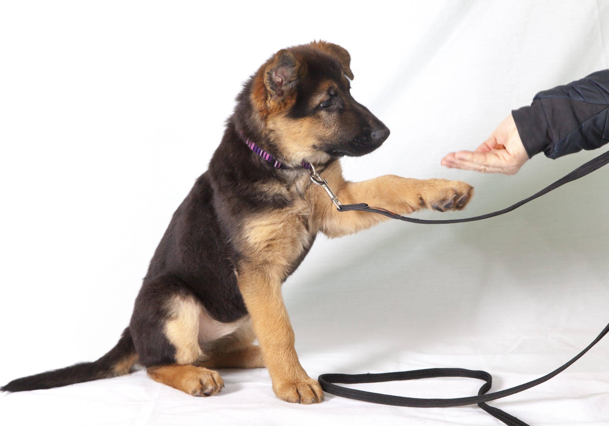 Как научить собаку команде «стоять!»