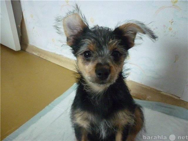 Метис йорка и чихуахуа чорки: как выглядит смесь пород собак на фото, а также каким здоровьем обладает помесь питомцев
