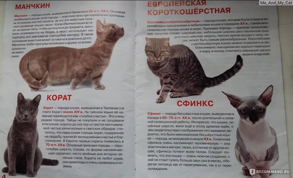 Кошка экзотической породы: характер экзота, уход за питомцем и его содержание, выбор котёнка, отзывы владельцев, фото короткошёрстного кота