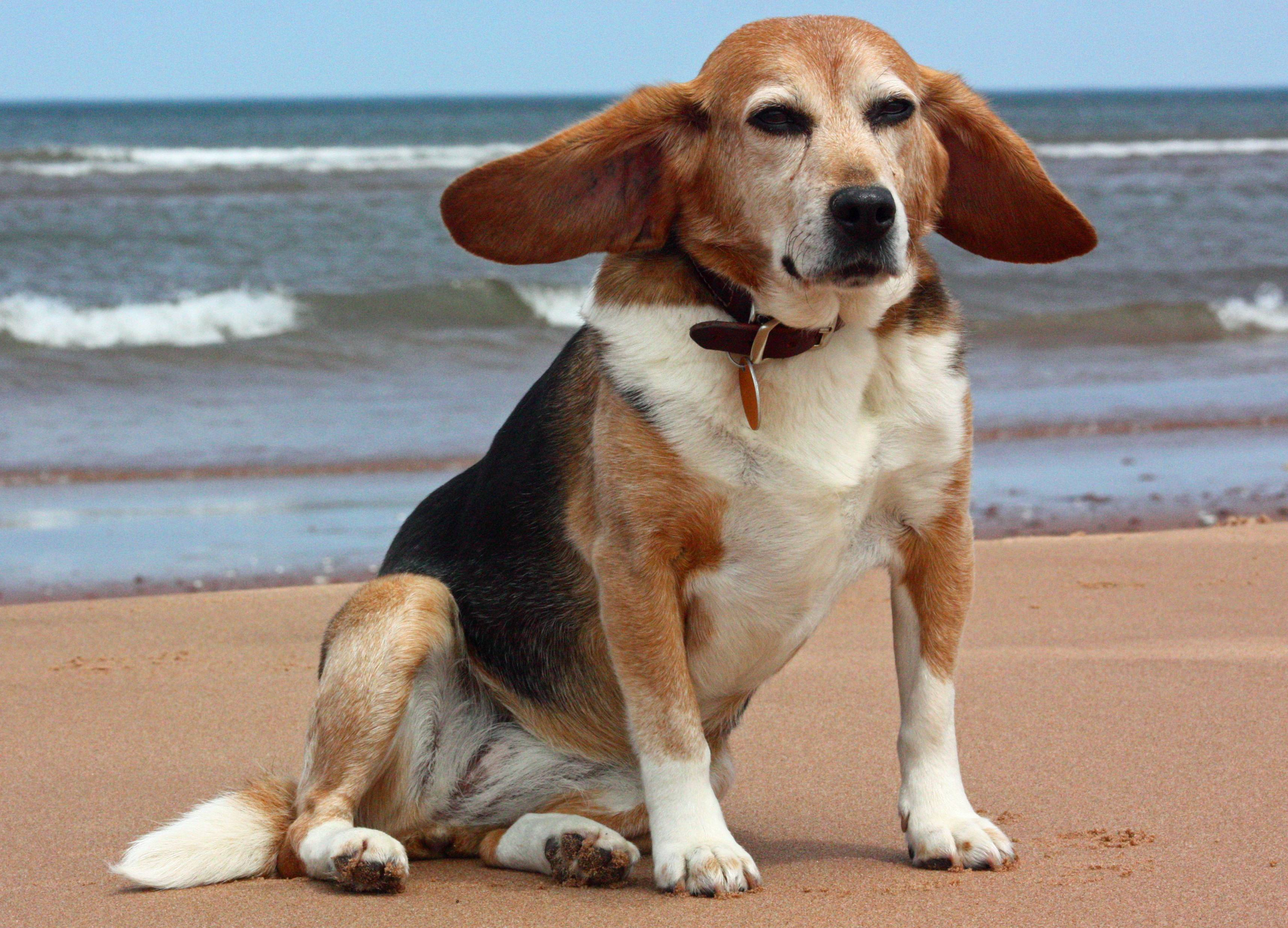 Разновидности аристократической гончей собаки: французский харьер, европейский, американский и другие бигли