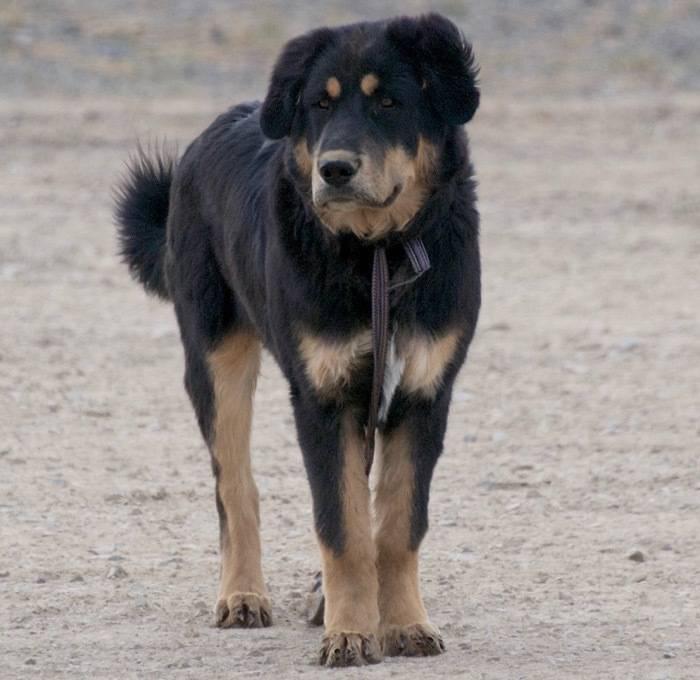 Бурят-монгольский волкодав – заботливый и верный сторожевой пес, сильный охотник