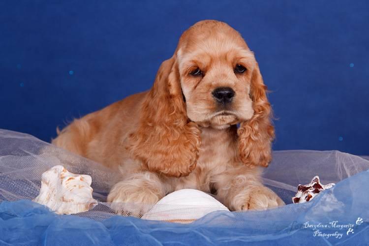 Спаниель: фото, разновидности, а также описание породы и бывают ли собаки белого, черно-белого, рыжего и коричневого окраса