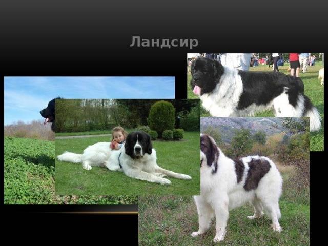 Чинук — описание породы, уход и содержание, характер собаки, стандарт породы, нюансы, отзывы, история. чинук — собака с прекрасными рабочими качествами