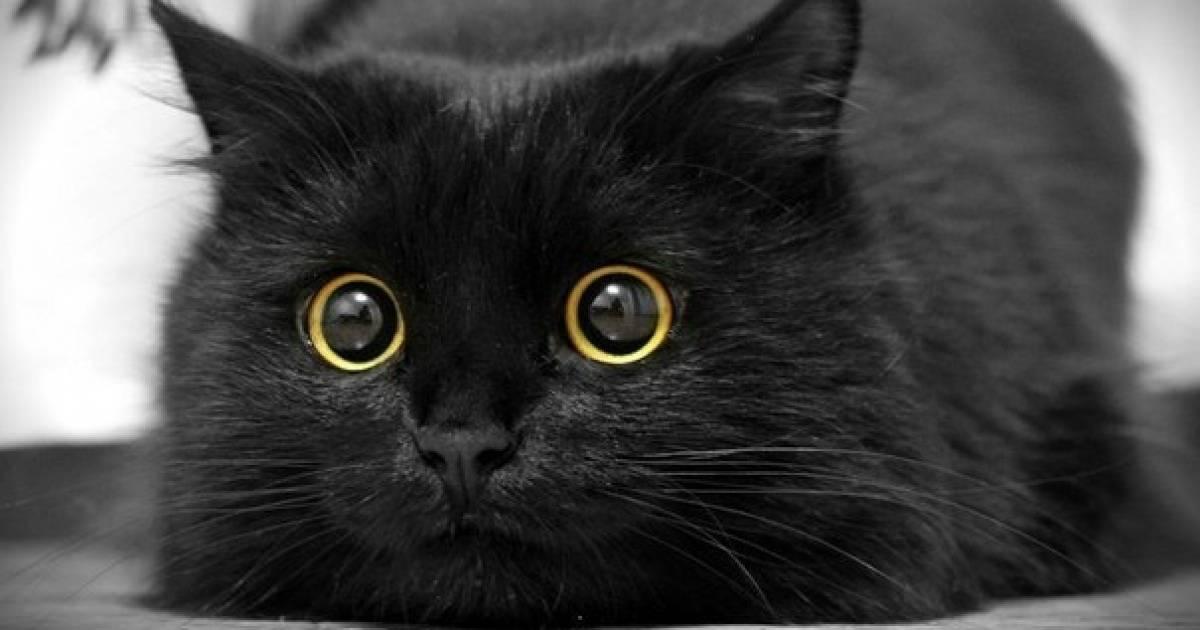 Что притягивают в дом черные кошки ?