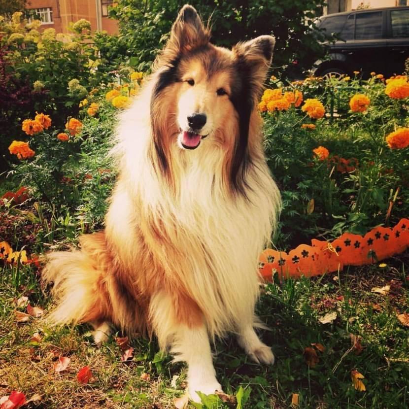 Бордер-колли: все о собаке, фото, описание породы, характер, цена