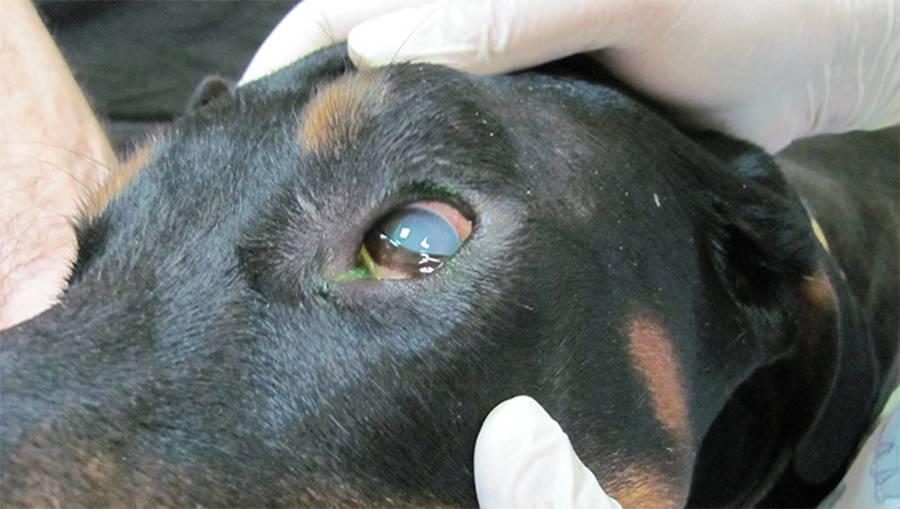 Пироплазмоз у собак - симптомы и лечение