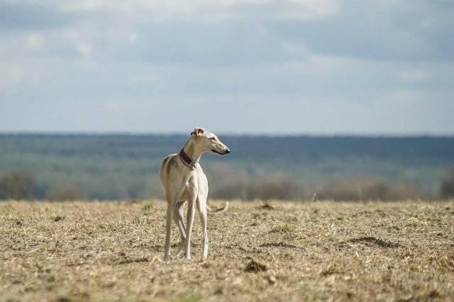Русская (псовая) борзая: фото и стоимость собаки, характер и уход