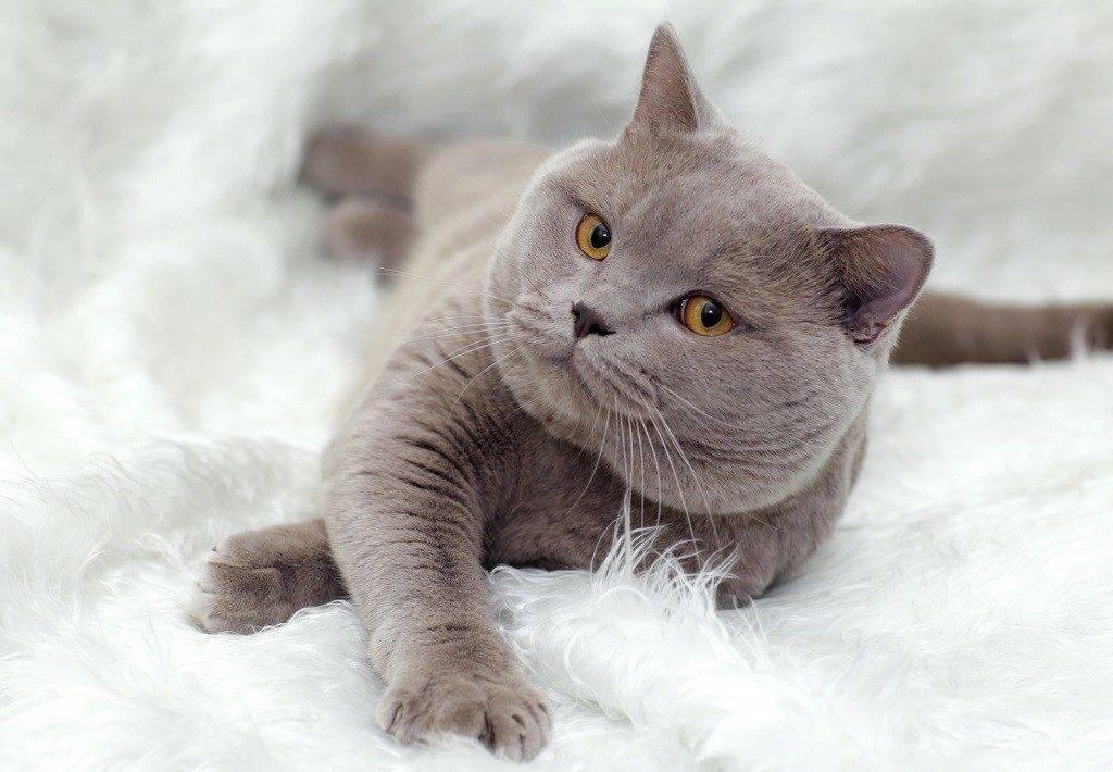 Британская короткошёрстная кошка: характер и особенности ухода