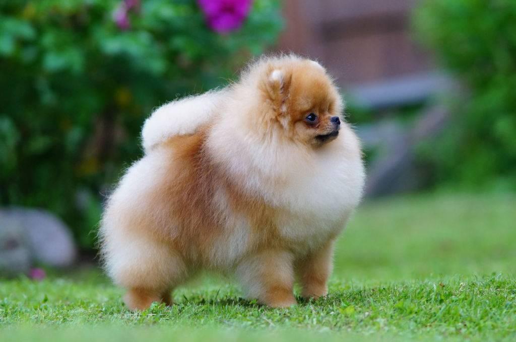 Карликовые породы собак - название и фото | milota.online