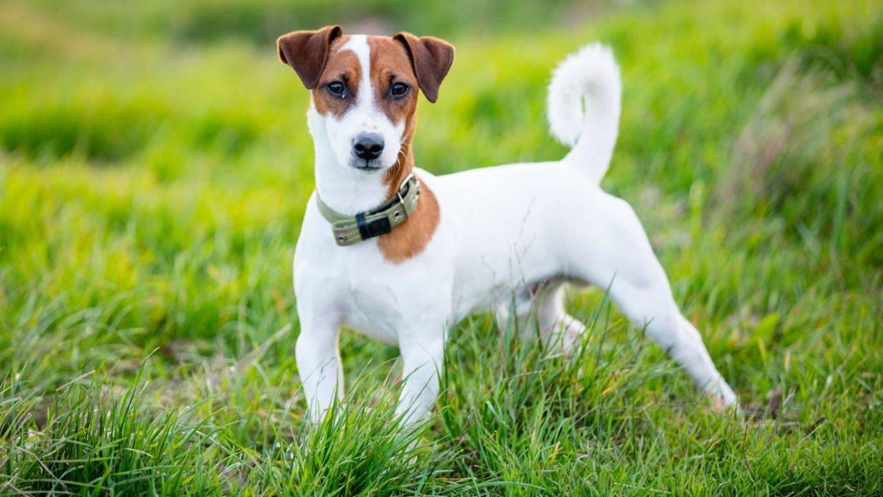 Джек-рассел-терьер жесткошерстный: описание породы и особенностей характера, а также как выглядит собака на фото