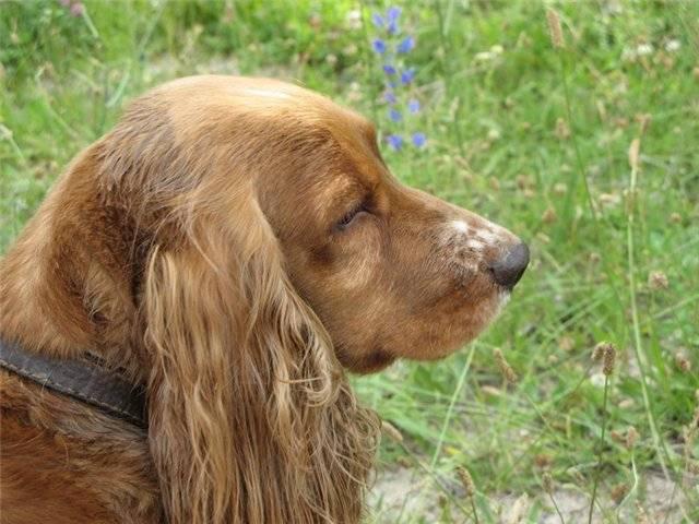 Русский охотничий спаниель: описание породы собак, фото и видео материалы, отзывы о породе