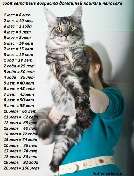 До какого возраста растут коты – этапы развития кошек разных пород
