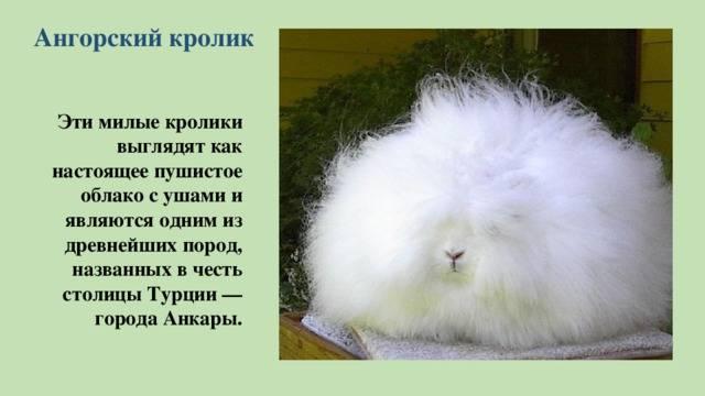 Ангорские кролики: описание породы, особенности содержания