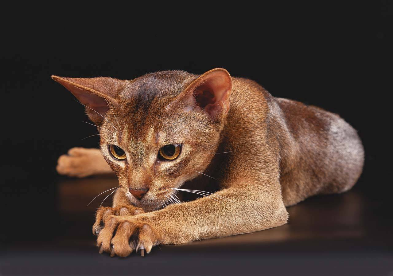 Абиссинская кошка. история, факты, стандарт, характер, фото